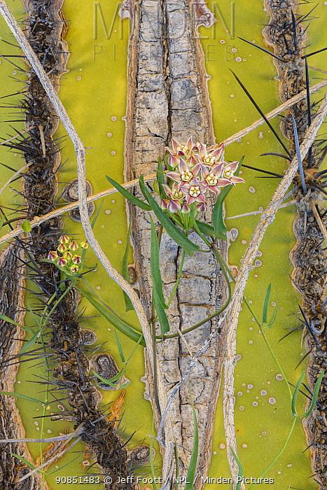 Climbing milkweed (Funastrum cynanchoides) on Mexican giant cardon (Pachycereus pringlei). Catavina, Central Baja California, Mexico.
