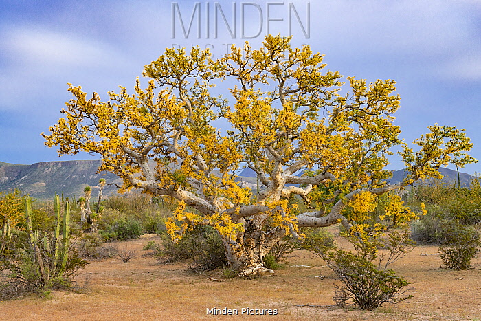Baja elephant tree (Pachycormus discolor) in Sonoran Desert, leaves turning yellow during period of drought. Near Bahia de Los Angeles, Baja California, Mexico.