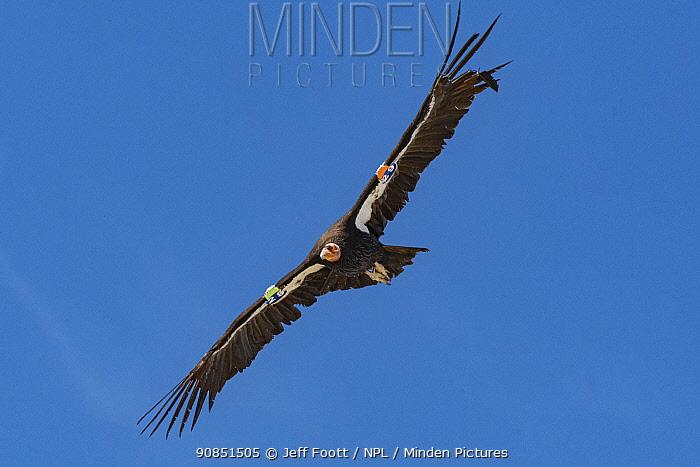 California condor (Gymnogyps californianus) in flight, radio tagged bird with damaged primaries. Baja California, Mexico.