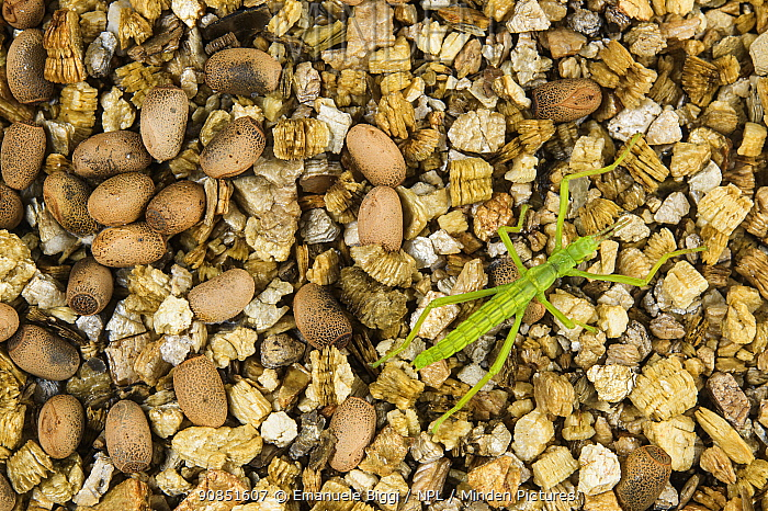 Newly-hatched Lord Howe Island stick insect (Dryococelus australis) among eggs, part of a breeding program at Bristol Zoo Gardens, Bristol, UK.