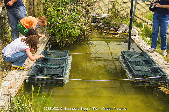 Children looking into submerged crates containing European terrapins (Emys orbicularis ingauna) captive-bred for release during an open day at Life Emys Project, Centro Emys, Albenga, Savona, Italy. May 2009. EDITORIAL USE ONLY.