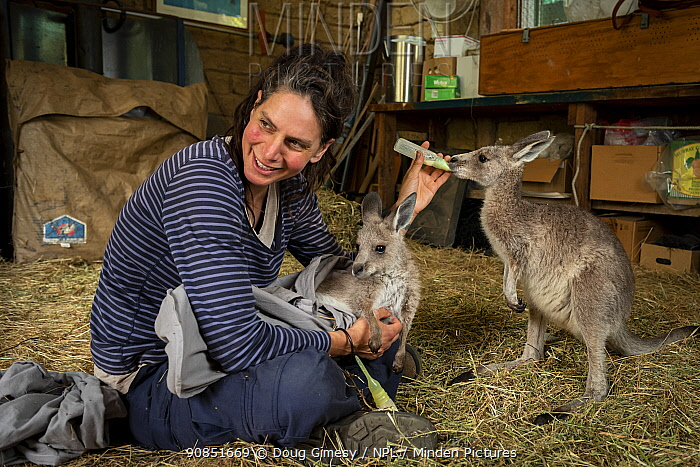Rena Gaborov feeding Eastern grey kangaroo (Macropus gigantea) orphans in her mother-in-law's shed in Sarsfield, Victoria, Australia. January 2020 Editorial use only.