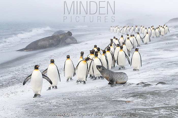 King Penguins (Aptenodytes patagonicus) approached by an Antarctic Fur Seal (Arctocephalus gazella). A few pecks from the penguins caused the seal to retreat. Southern elephant seal (Mirounga leonina) male resting in the background. St Andrews Bay, South Georgia Island