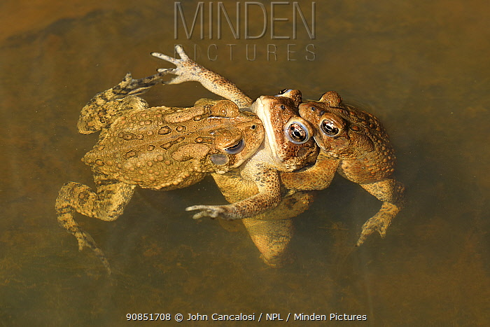 American toads (Anaxyrus americanus), males mating with female, Maryland, USA. April.