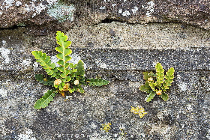 Rusty-back fern (Asplenium ceterach / Ceterach officinarum) growing on a stone wall. Catbrook, Monmouthire, Wales, UK. April.