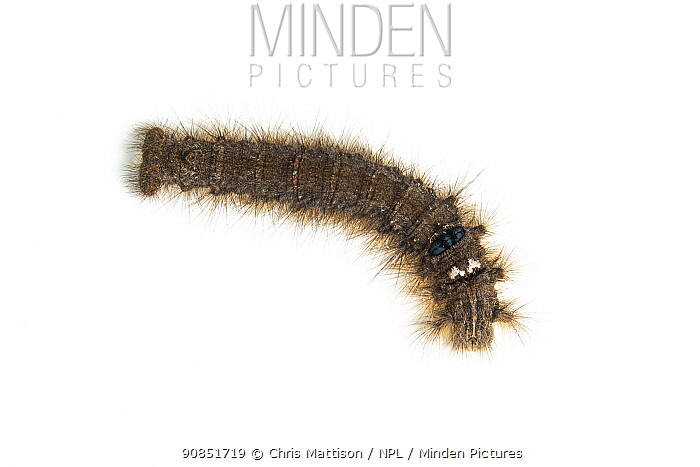 Lappet moth caterpillar (Gastropacha quercifolia) on white background. Monmouthire, Wales, UK. April.