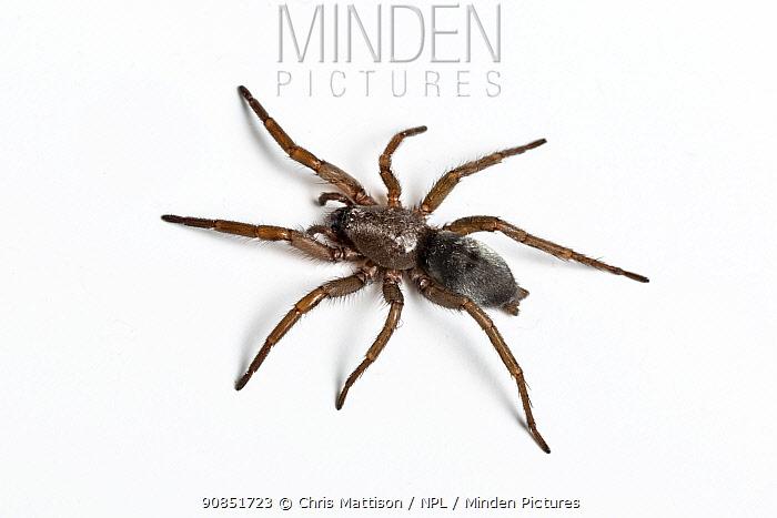 Mouse Spider (Scotophaeus blackwalli) Catbrook, Monmouthshire, Wales, UK. December.