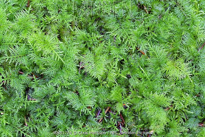 Common tamarisk moss (Thuidium tamariscinum) in winter, Monmouthshire, Wales, UK. December.