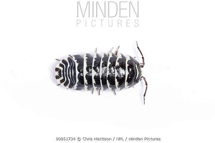 Zebra pill woodlouse (Armadillidium maculatum) Europe