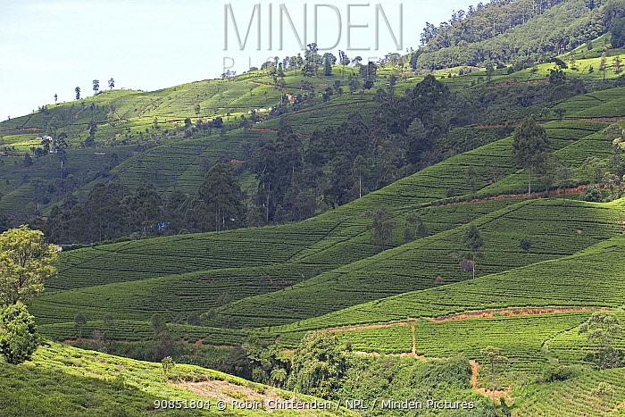Tea plantation on hillside with scattered trees and forest. Tissa, Sri Lanka, 2019.