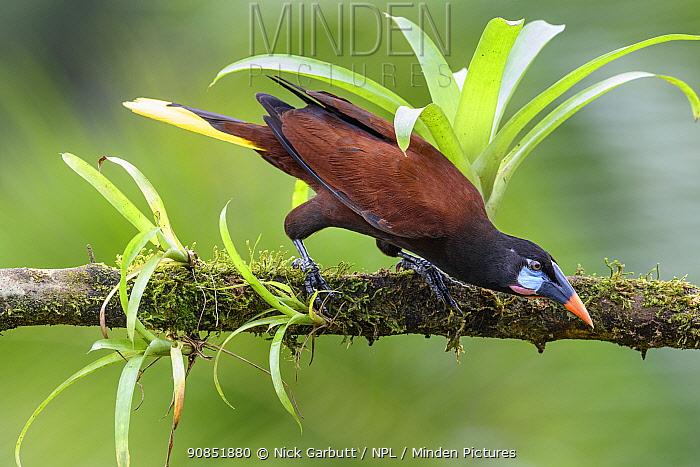 Montezuma oropendola (Psarocolius montezuma) male, preparing to take off from branch. Boca Tapada, Costa Rica.