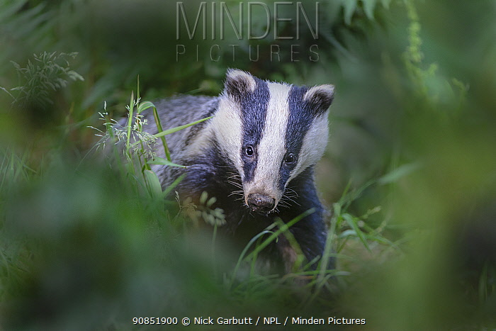 European badger (Meles meles) foraging in woodland. Devon, England, UK. June.