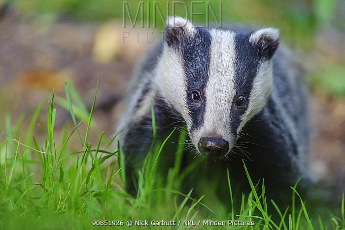 RF - European badger (Meles meles) foraging, portrait. Devon, England, UK. June. (This image may be licensed either as rights managed or royalty free.)