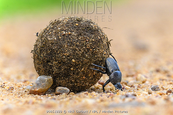 RF - Dung beetle (Scarabaeidae) rolling dung ball. South Luangwa National Park, Zambia. (This image may be licensed either as rights managed or royalty free.)