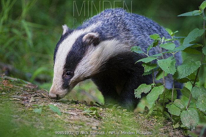 RF - European badger (Meles meles) foraging in woodland. Devon, England, UK. June. (This image may be licensed either as rights managed or royalty free.)