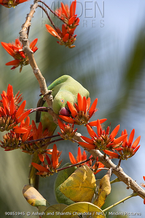 Rose ringed Parakeet (Psittacula krameri), female feeding on Indian Coral tree (Erythrina Indica) flower, Bangalore, India.