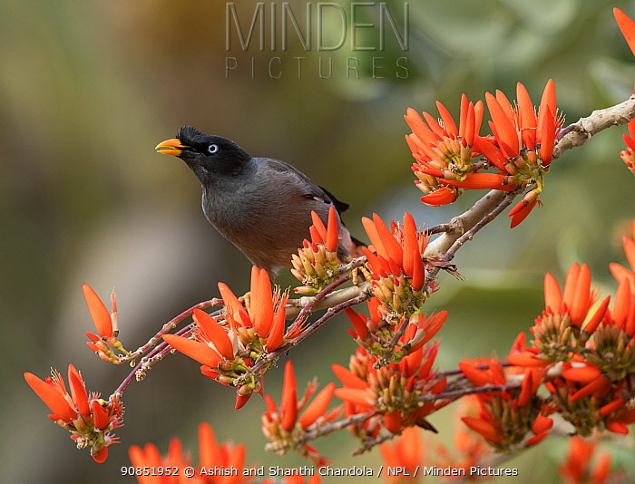 Jungle myna (Acridotheres fuscus), on INdian coral tree in flower, Bangalore, India.