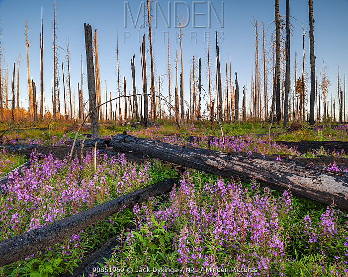 Fireweed (Epilobium angustifolium) in flower, after Wallow forest fire, Apache-Sitgreaves National Forest, Arizona, USA. August.