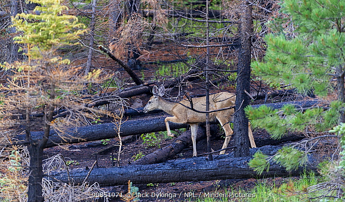 Mule deer (Odocoileus hemionus) in burnt forest, after Wallow Fire, Apache-Sitgreaves National Forest, Arizona, USA, August