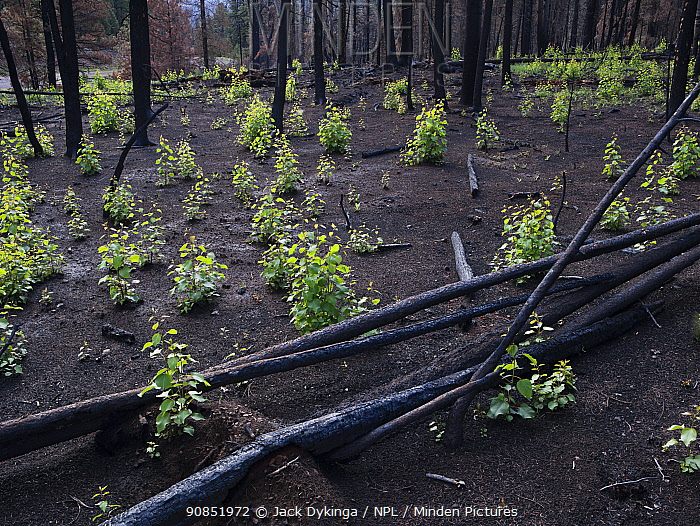 Aspen saplings growing in burnt forest after Wallow fire, Apache-Sitgreaves National Forest, Arizona, August.