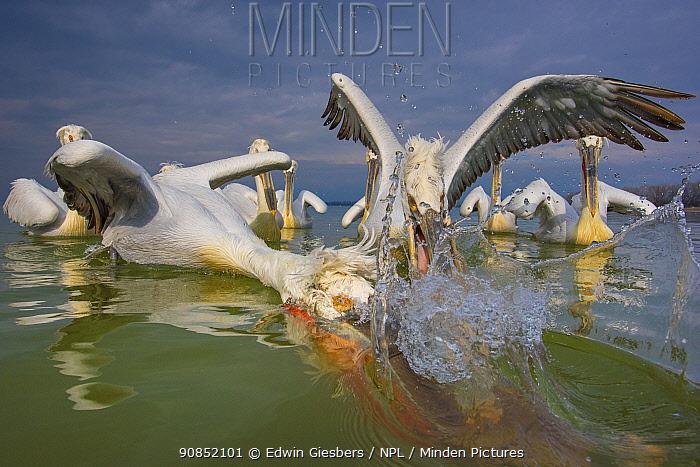 Dalmatian pelican (Pelicanus crispus) group squabbling over fish, Lake Kerkini, Greece.