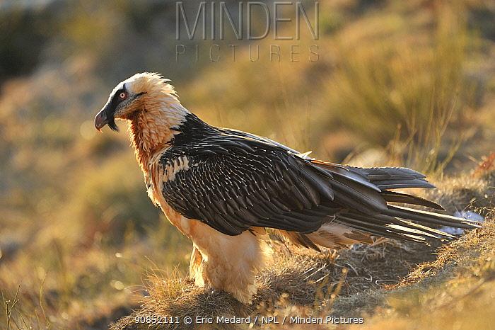 Bearded vulture (Gypaetus barbatus) profile portrait, Pyrenees, France, March