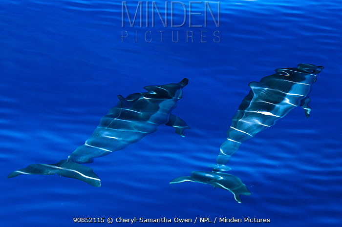 Spinner dolphins (Stenella longirostris) swimming just below surface, Aldabra Atoll, Seychelles, Indian Ocean