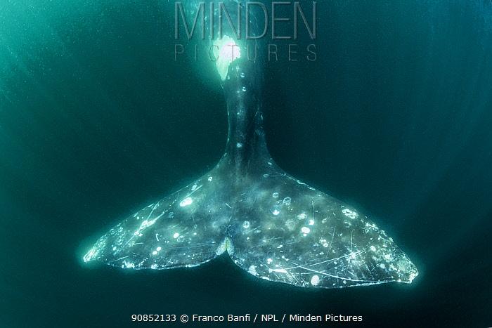 Tail of Grey whale (Eschrichtius robustus) underwater, Magdalena Bay, Baja California, Mexico.