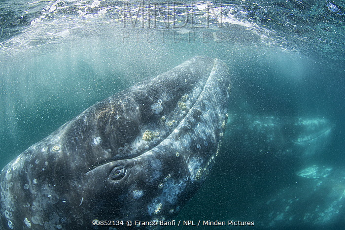 Grey whale (Eschrichtius robustus) underwater upside down, Magdalena Bay, Baja California, Mexico.