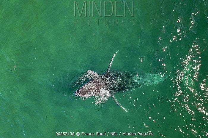 Grey whale (Eschrichtius robustus) aerial, spy hopping, Magdalena Bay, Baja California, Mexico.