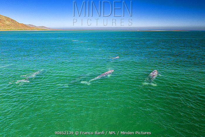 Pod of Grey whale (Eschrichtius robustus) aerial, traveling in shallow water, Magdalena Bay, Baja California, Mexico.