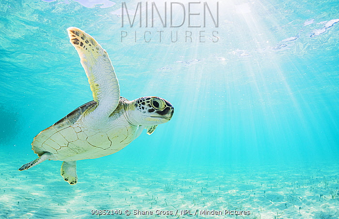 Green sea turtle (Chelonia mydas) in shallow water. The Bahamas.