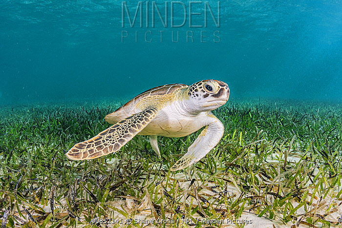 Green turtle (Chelonia mydas) heading to surface to breathe, after feeding on Turtlegrass (Thalassia testudinum) in seagrass bed. The Bahamas.