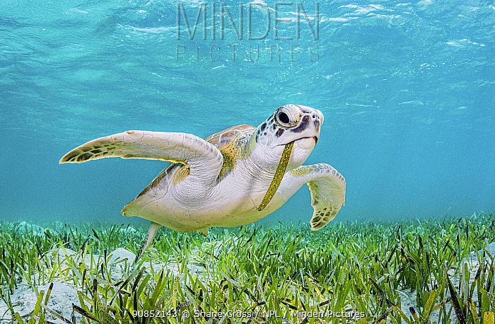 Green turtle (Chelonia mydas) feeding on Turtlegrass (Thalassia testudinum) seagrass bed. The Bahamas.
