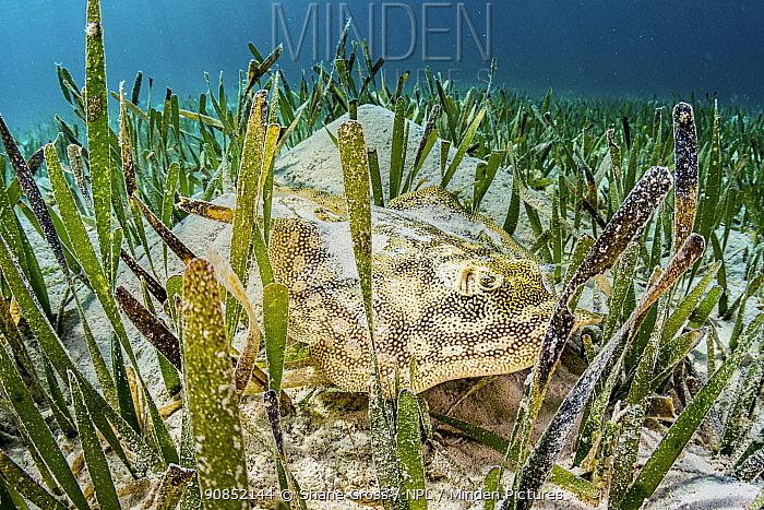 Yellow stingray (Urobatis jamaicensis) hiding in Turtlegrass (Thalassia testudinum) seagrass bed. The Bahamas.