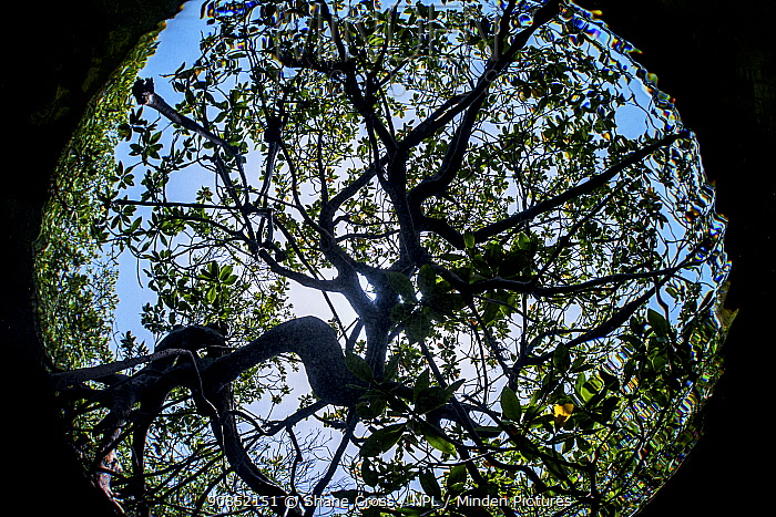 Red mangrove (Rhizophora mangle) tree, view from below, underwater, The Bahamas.