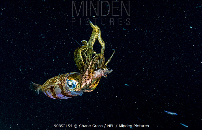 Caribbean reef squid (Sepioteuthis sepioidea) feeding on Shrimp at night. The Bahamas.
