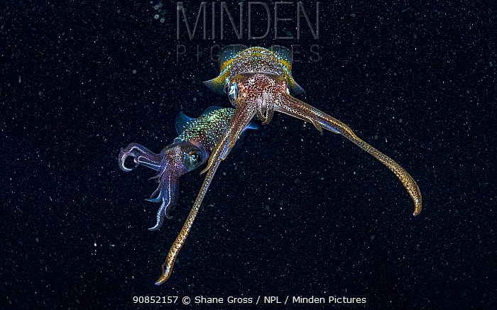Caribbean reef squid (Sepioteuthis sepioidea) two at night surrounded by Plankton. The Bahamas.
