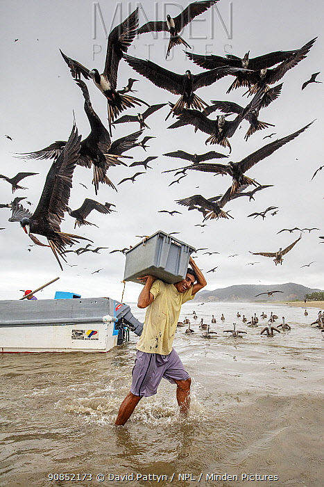 Magnificent frigatebirds (Fregata magnificens) stealing fish from man carrying crate of fish, Puerto Lopez, Ecuador. Highly commended in the Garden and Urban Birds Category of the Bird photographer of the Year