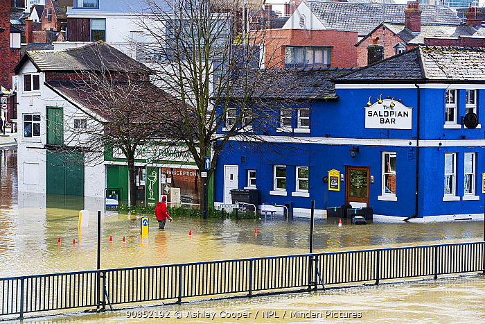 Pub in flooded street, shop owner wading through River Severn flood waters. After Storm Ciara and Storm Dennis, the wettest February recorded in the UK. Shrewsbury, Shropshire, England, UK. February 2020.