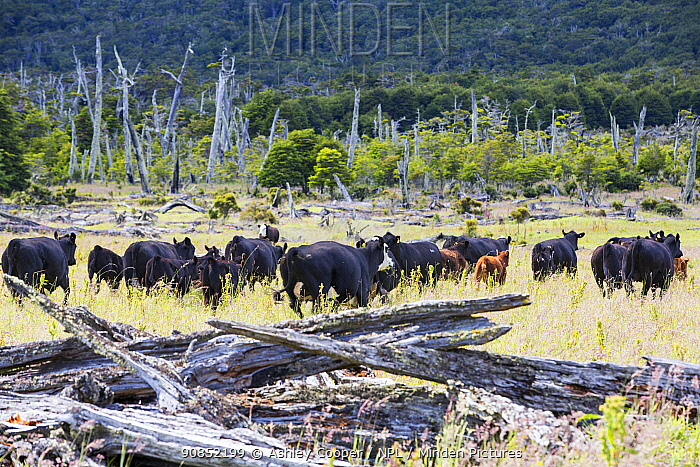 Cattle in grassland, formerly a native Beech (Nothofagus sp) and Pine forest deforested to make way for ranching. Magallanes, Patagonia, Chile. January 2020.