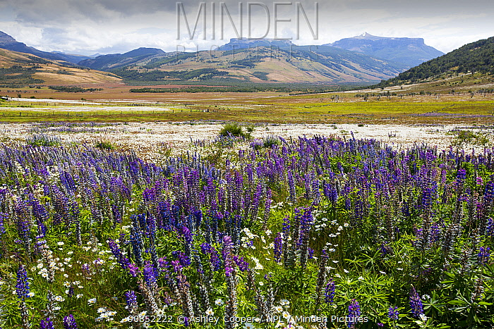 Lupin (Lupinus sp) flowering in profusion alongside Daisies. In valley south of Torres del Paine National Park, Patagonia, Chile. January 2020.