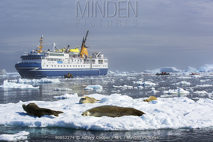 Crabeater seal (Lobodon carcinophaga) group hauled out on sea ice, tourists on zodiacs and expedition cruise ship in background. Yalour Islands, Wilhelm Archipelago, Antarctica. January 2020.