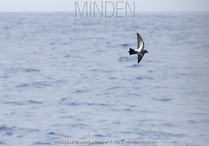 Black bellied storm petrel (Fregetta tropica) in flight over Drake Passage, Antarctic. January.