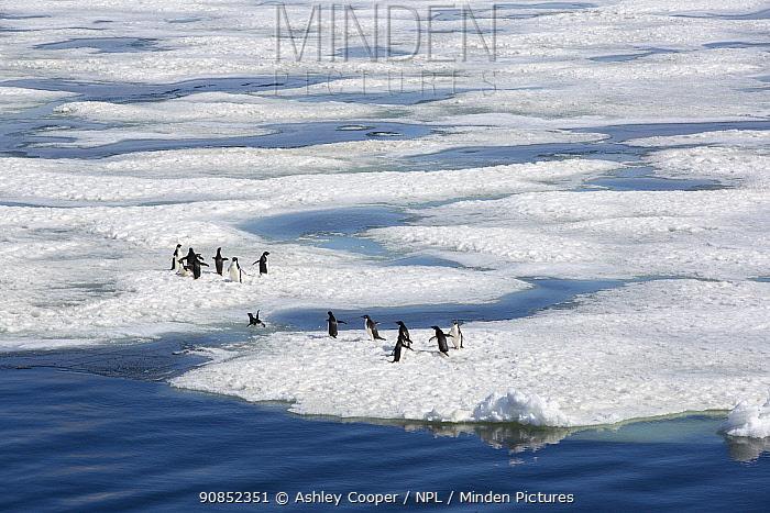 Adelie penguin (Pygoscelis adeliae) group crossing channel in melting sea ice. Weddell Sea, Antarctica. December 2019.