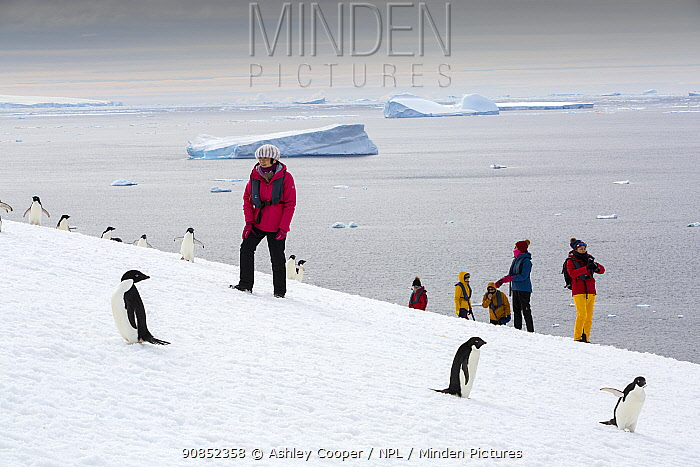 Chinese tourists from expedition cruise ship walking through Adelie penguin (Pygoscelis adeliae) colony, icebergs in Weddell Sea in background. Beagle Island, Danger Islands, Antarctica.