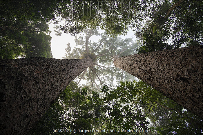 Kauri pine (Agathis australis) trees in morning mist, view from below looking towards canopy. Lake Barrine, Crater Lakes National Park, Wet Tropics of Queensland, Australia.
