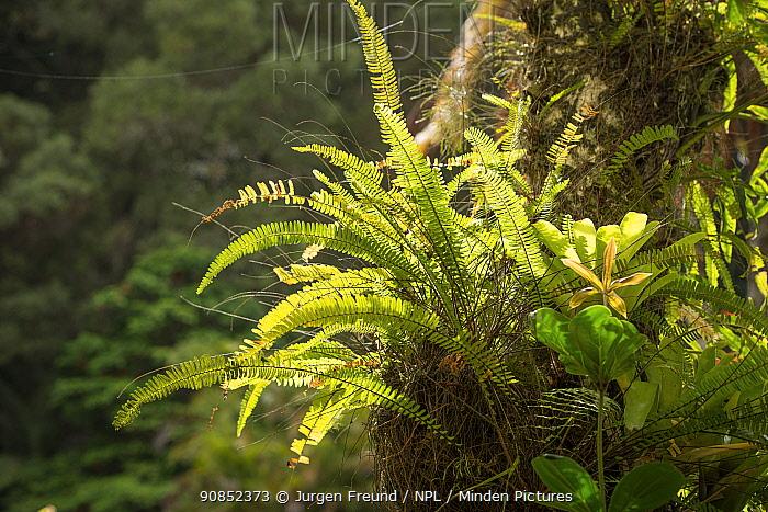 Swordfern (Aglaomorpha sp) on tree trunk in rainforest. Far North Queensland, Australia.