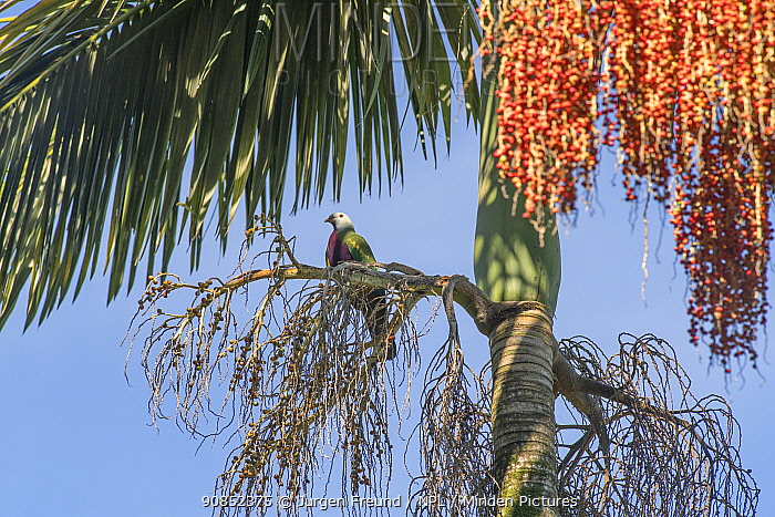 Wompoo fruit dove (Ptilinopus magnificus) perched in fruiting Alexander palm (Archontophoenix alexandrae) tree. Lake Barrine, Crater Lakes National Park, Wet Tropics of Queensland, Australia.