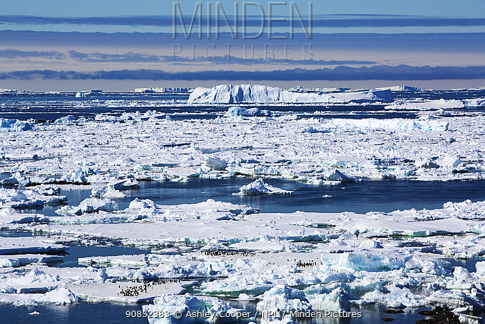 Adelie penguin (Pygoscelis adeliae) colonies on sea ice in Weddell Sea. Eden Rocks, Dundee Island, Antarctica. December 2019.